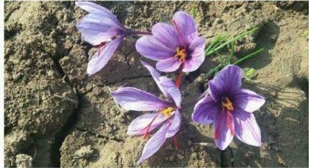 کشت زعفران در برنامه کشت محصولات زراعی شهرستان بیله سوار قرار گرفت