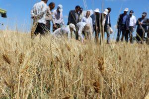 برداشت محصولات مزارع دیم در کشت و صنعت پارس