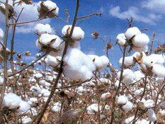 برداشت پنبه در ۲ هزار هکتار از مزارع شهرستان اصلاندوز آغاز شد