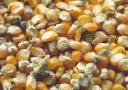 ۲۲ تن ذرت بذری فاسد در شهرستان پارسآباد کشف شد
