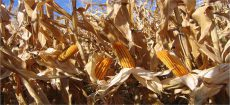 آغاز کشت ذرت بذری در ۶ هزار و ۵۰۰ هکتار از اراضی منطقه مغان